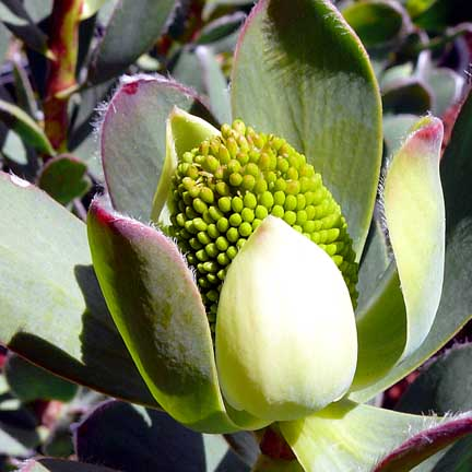 leucadendron_discolor_pompom_bloom