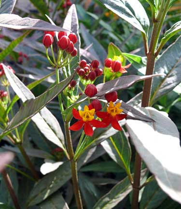 asclepias_wildfire2