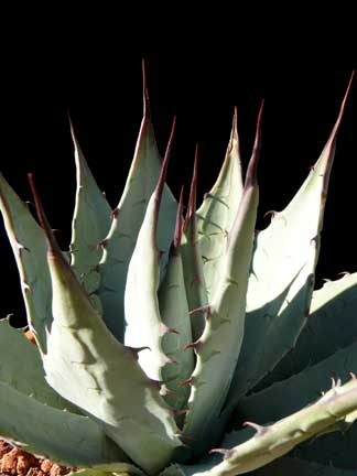 agave_parryi_v_parryi2