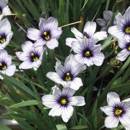 blue eyed grass3
